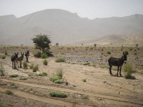 Wilde Esel in Marokko