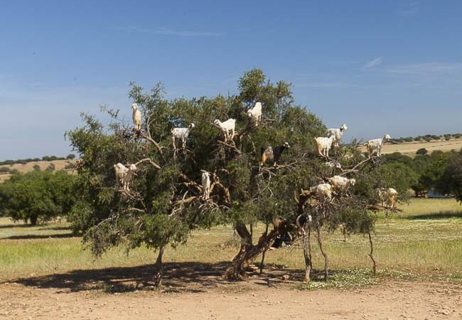 Ziegen, die auf Arganienbäume steigen